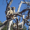 Monkeys In Botswana