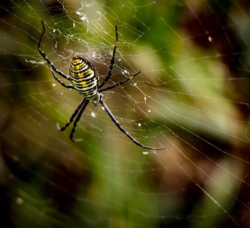4-Advanced-Open-DNP-Lloyd_Blackburn-Garden_Spider_-_Ohio