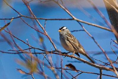 3-Intermediate-Open-1-Dan_Barnett-White_Crowned_Sparrow
