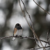 3-Intermediate-Open-DNP-Dan_Barnett-Dark_Eyed_Junco