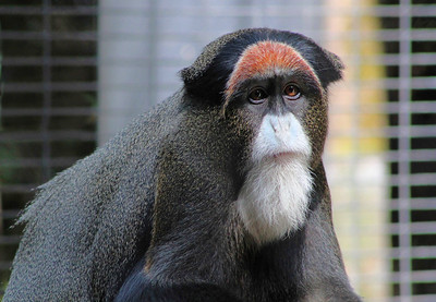 3-Intermediate-Open-DNP-Barbara_Holdcroft-De_Brazza_Monkey