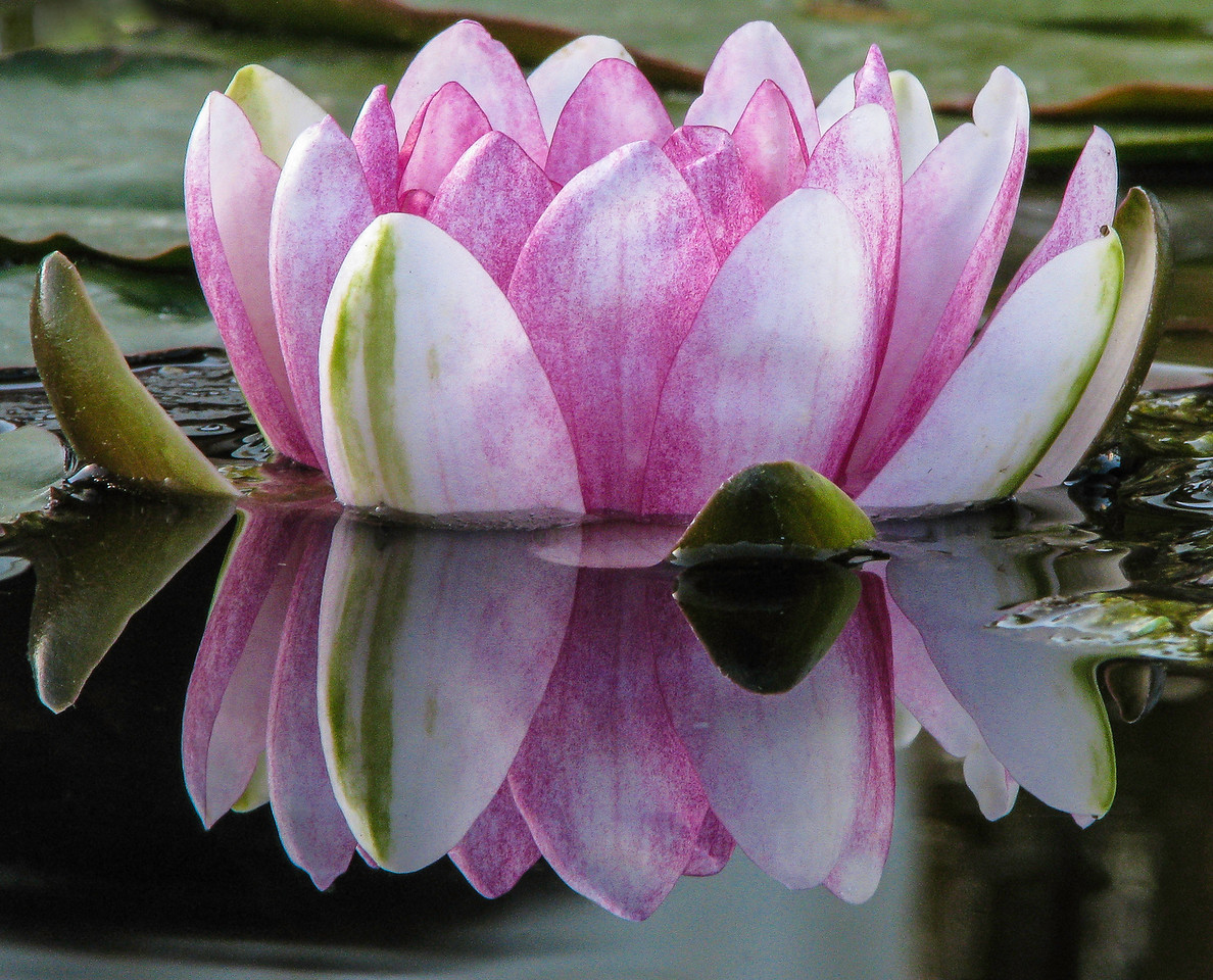 4-Advanced-Assigned_-_From_the_Ground-DNP-Don_Trowbridge-Waterlilly_Reflection