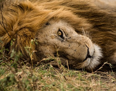 3-Intermediate-Assigned_-_From_the_Ground-2-Pat_Partridge-Lion_Tanzania