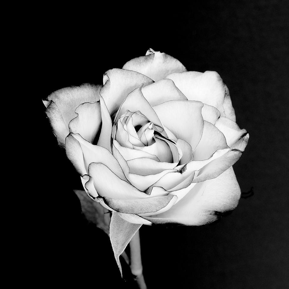 3-Intermediate-Open-3-Bill_Tafuri-The_Rose