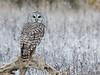 Scarborough Barred Owl