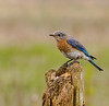 Eastern Female Bluebird