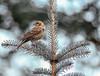 Sparrow On Spruce
