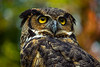 Owl - Pretty Yellow Eyes