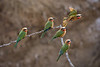 Whitethroat Bee-Eaters