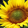 OPEN-A-1st-Debra Regula-Sunflower Spirals