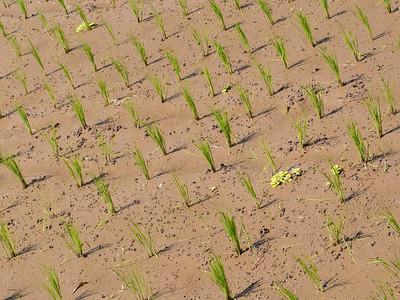 Paddy pattern