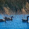 BACK-A-Tobé Saskor-Winter Geese