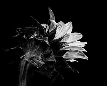 B&W-C-3rd-Neva Scheve-Sunflower