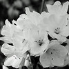 B&W-B-Chuck Kersey-Spring Blooms