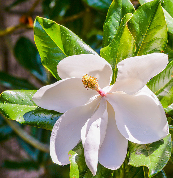 FILL-B-Bonnie Fitzpatrick-The Magnificent Magnolia