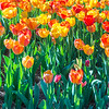 FILL-B-Bonnie Fitzpatrick-Field of Sunlit Tulips