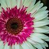 FILL-B-HM-Bonny Henderson-Lollipop Flower