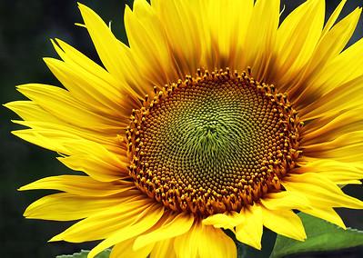 OPEN-A-1st-Debra Regula-Sunflower Spirals