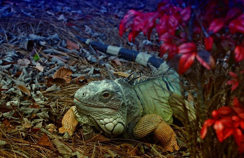 OPEN-B-Chuck Kersey-Pet Iguana