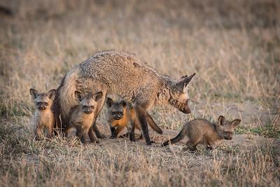 BAT EARED FOX WITH CUBS