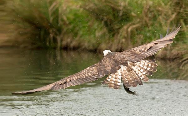 osprey wiht trout