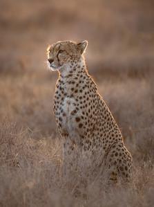 cheetah 2016