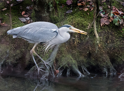 Grey Heron (Ardea Cinerea) taking a fish
