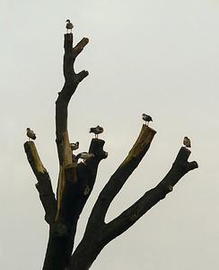 The Goose Tree