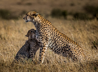 Mother Cheetah on High Alert