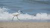 Great Egret Stalking