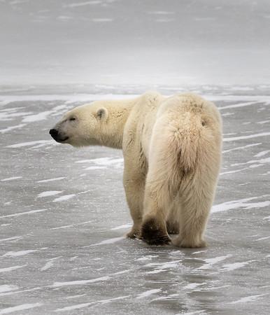 Polar Bear Crossing the Ice