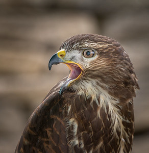 Common Buzzard Calling