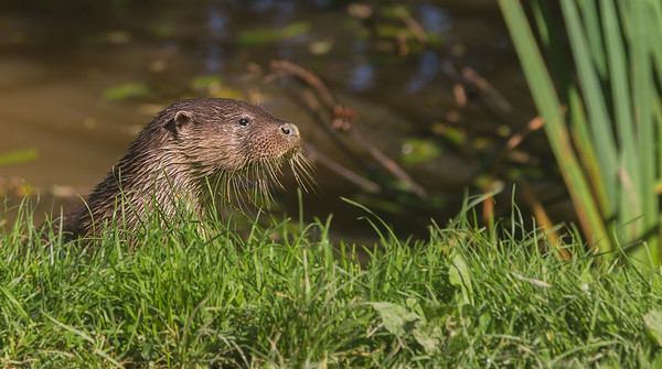 Otter emerging from the river
