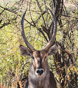 South African waterbuck