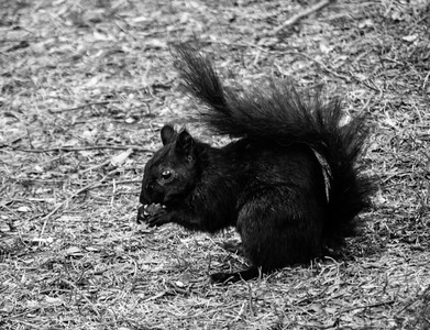 Black Squirell