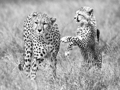 CHEETAH WITH HER CUB