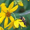 SEL-B-Mike Stevens-Busy Bee
