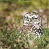 SEL-C-Neva Scheve-Wise Owl