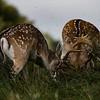 Rutting Fallow Deer