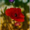 In The Poppy Meadow