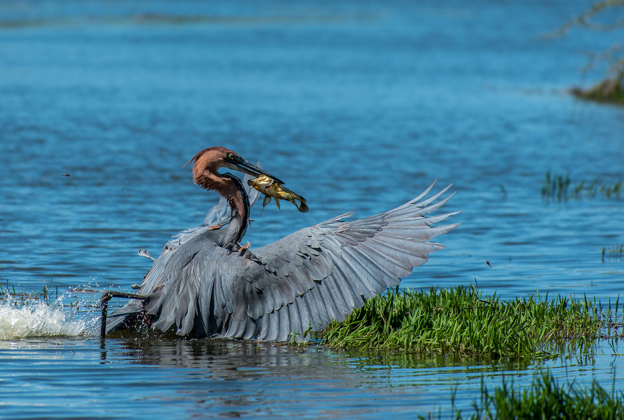 Goliath Heron With Catch (1st)