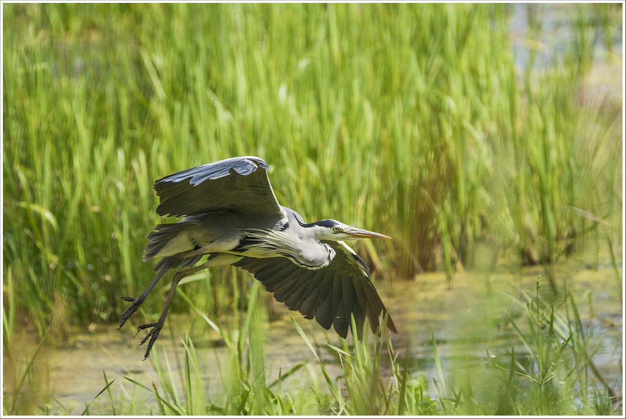 Heron In Flight (Commended)