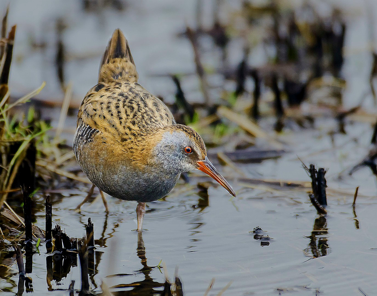 Water Rail (Highly Commended)