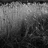 Winter Sunlight On Reeds
