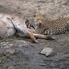 Leopard On Waterbuck Kill (4th)