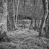 Silver Birch Woodland Glen Etive