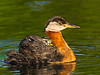 Red Neck Grebe and Chick