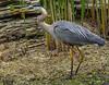 Blue Heron Snacking