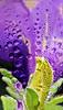 Purple Petunia in Rain