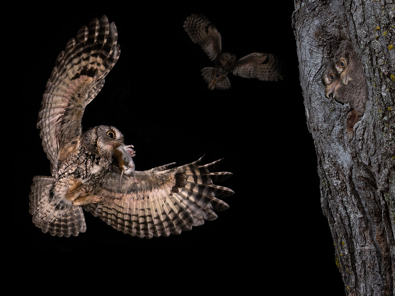 Screech Owl and Young
